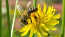 Natur, Biene, Blüte
