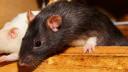 Tier, Ratte, Nagetier