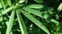 Cannabis, Hanf, Pflanze