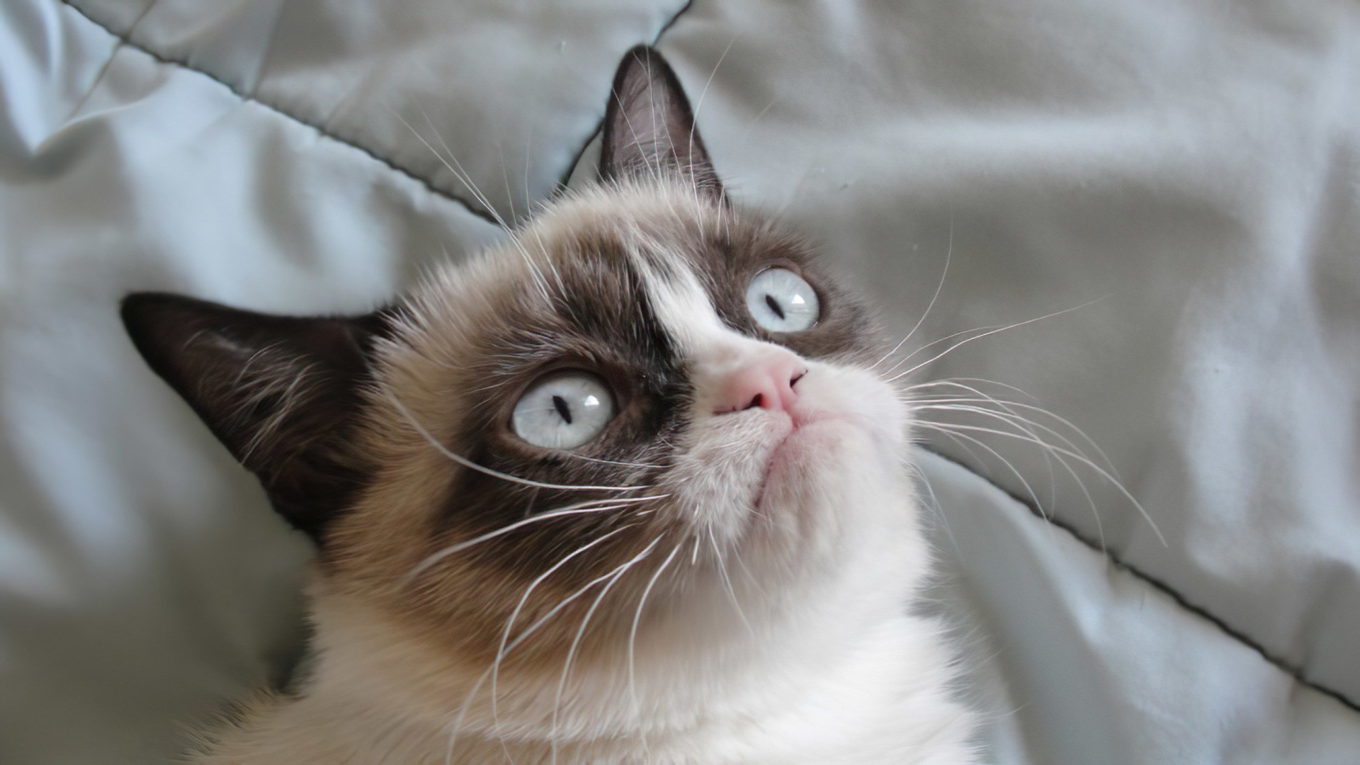 Meme, katze, Grumpy Cat