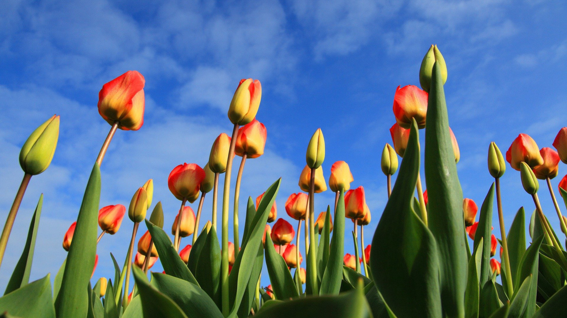 Natur, Blume, Tulpe