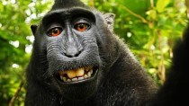 Streit um Affen-Selfie: Laut US-Copyright-Stelle kein Lizenzanspruch
