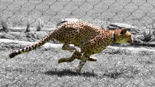 Geschwindigkeit, Speed, katze, Gepard