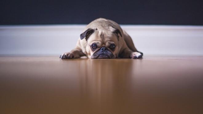 Hund, Haustier, Mops